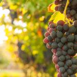 Navimol Cognital - OPC wird meistens aus Weintrauben gewonnen