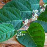 Blätter und Blüten von einem Japanischen Staudenknöterich