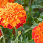 Die Blüten der Tagetes Erecta Pflanze