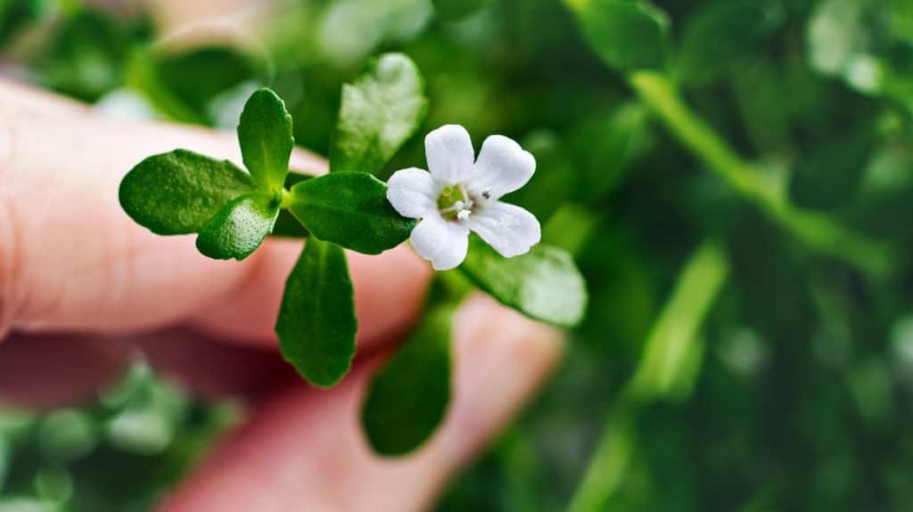 Die Blätter und die Blüte eines Bacopa Monnieri