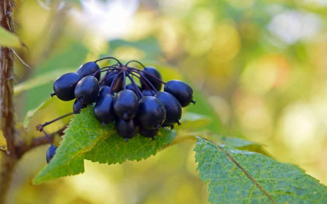Sibirischer Ginseng – Der Fitmacher aus der Taiga