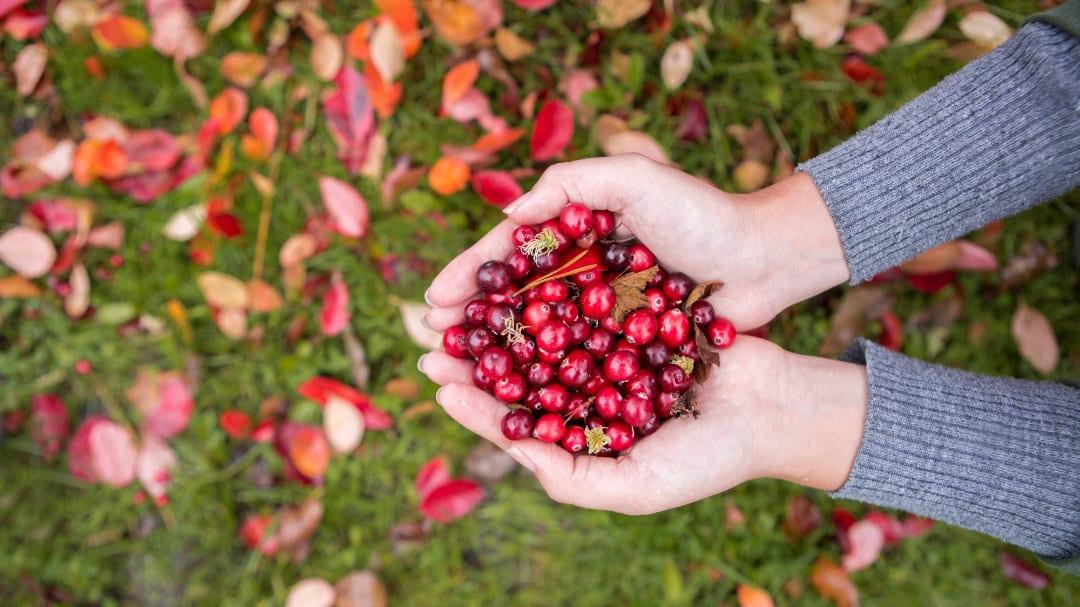 Zwei Hände halten einige dutzend Cranberrys