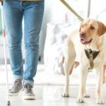 Ein Blindenführhund unterstützt sein Herrchen im Alltag