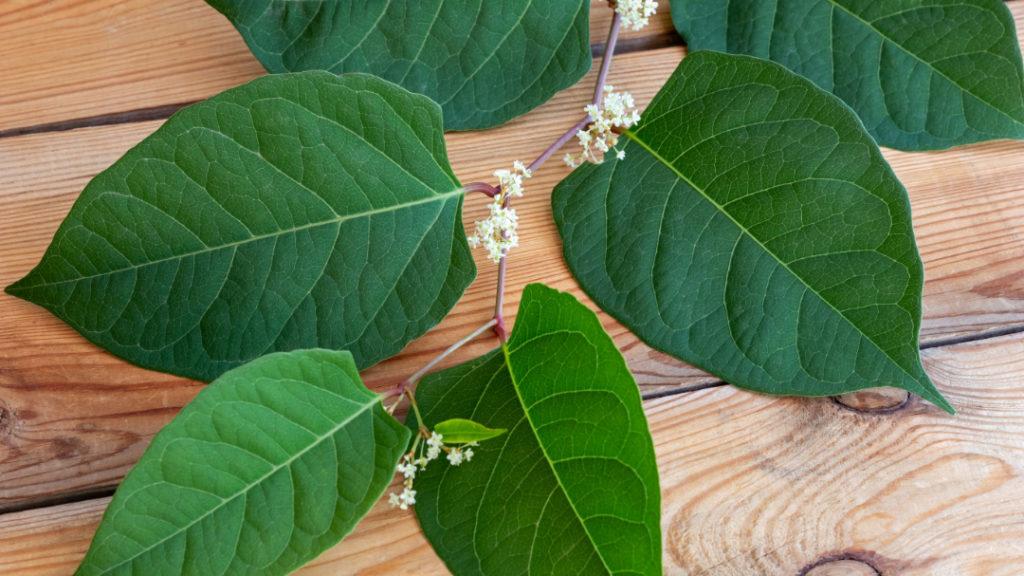 Der Japanische Staudenknöterich ist die Pflanze mit dem höchsten Resveratrolgehalt