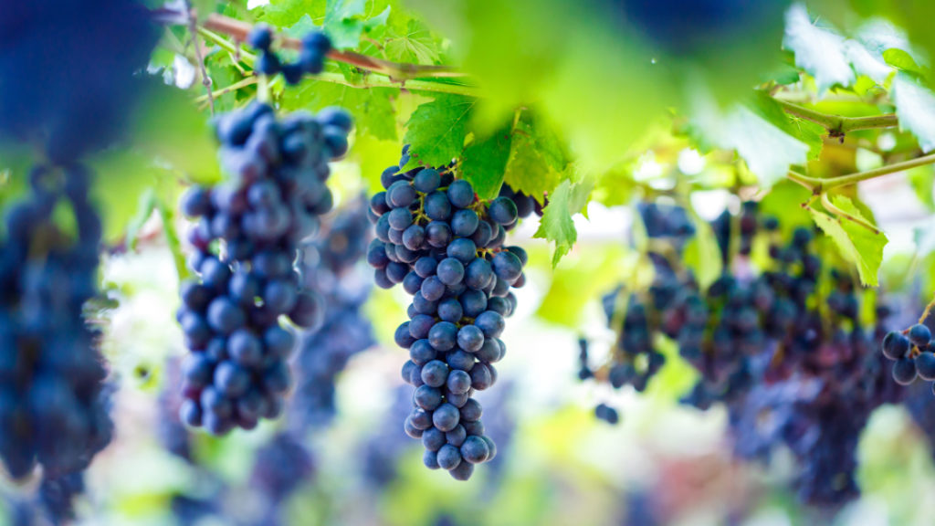 Je härter die Bedingungen desto höher ist der OPC-Gehalt in Weintrauben