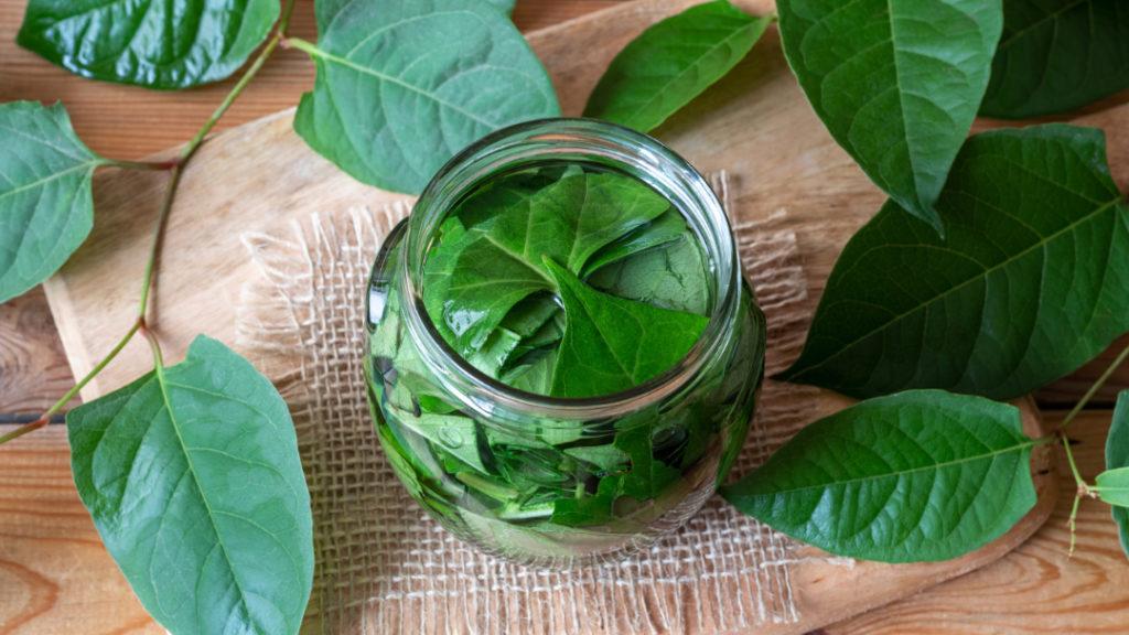Resveratrol wird aus dem Extrakt der Blätter der Pflanze gewonnen