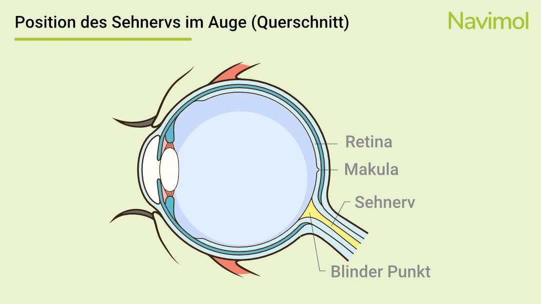 Der Querschnitt des Auges zeigt die Position des Sehnervs